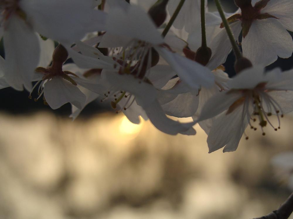 Sunlight in Sakura