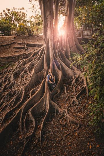 Balboa Park giant fig tree