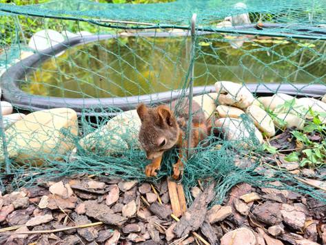 Eichhörnchenrettung