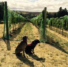 Dogs at harvest.JPG