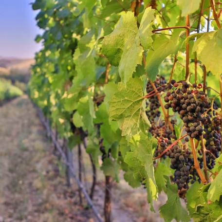 vineyard shot 2.jpg