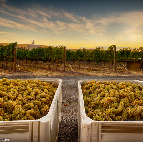 Chardonnay Harvest.jpg