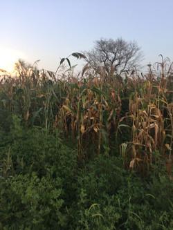 Dried corn on our farm