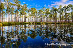 Longleaf Pine Reflections on Water