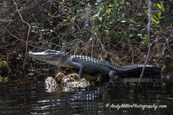 Okefenokee alligator sunbathing