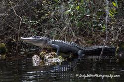 Okefenokee alligator sunbathing