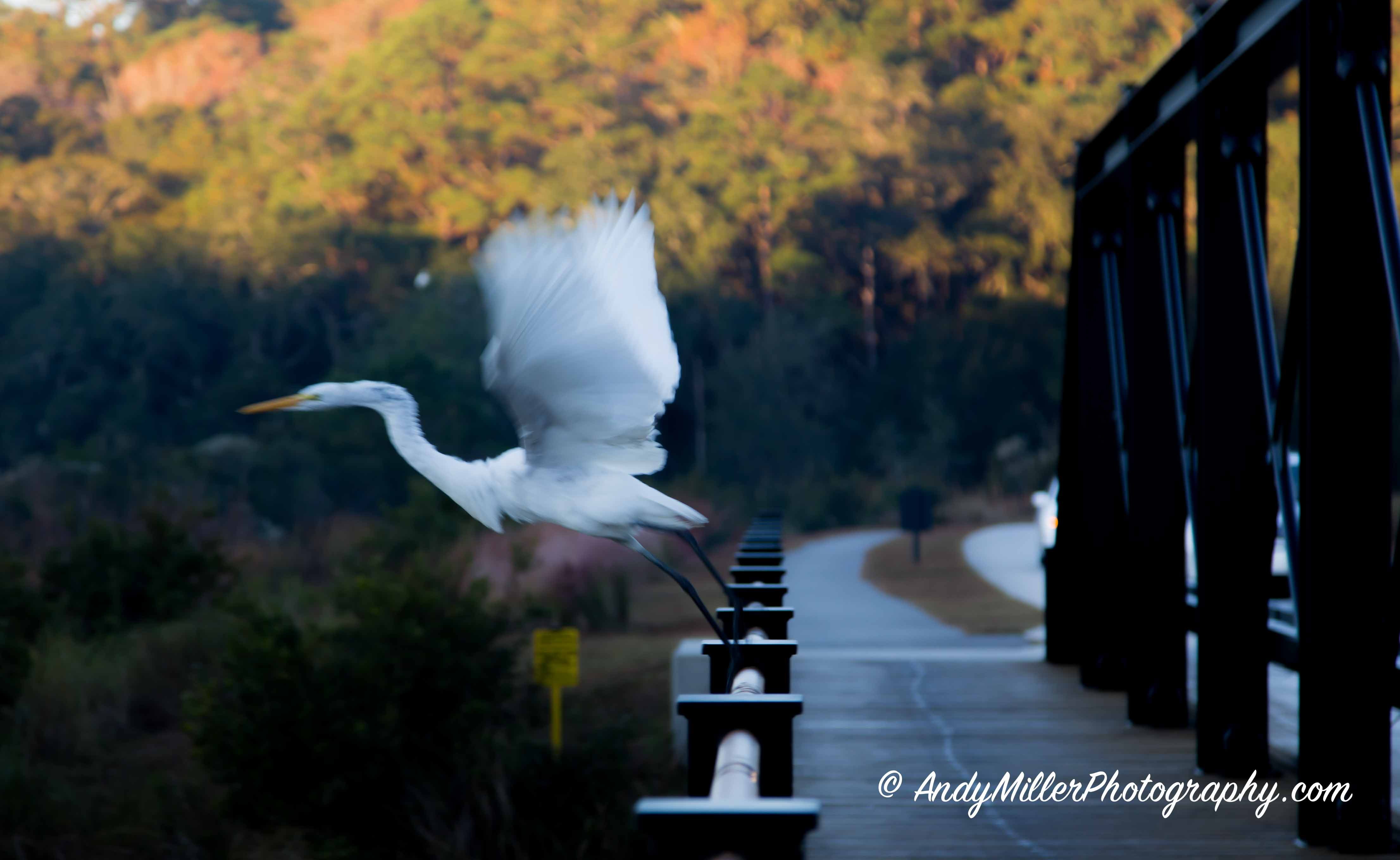 Egret taking flight