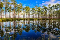 Longleaf Pine Reflections Okefenokee