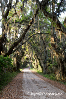 Spanish Moss & Live Oaks in Savannah