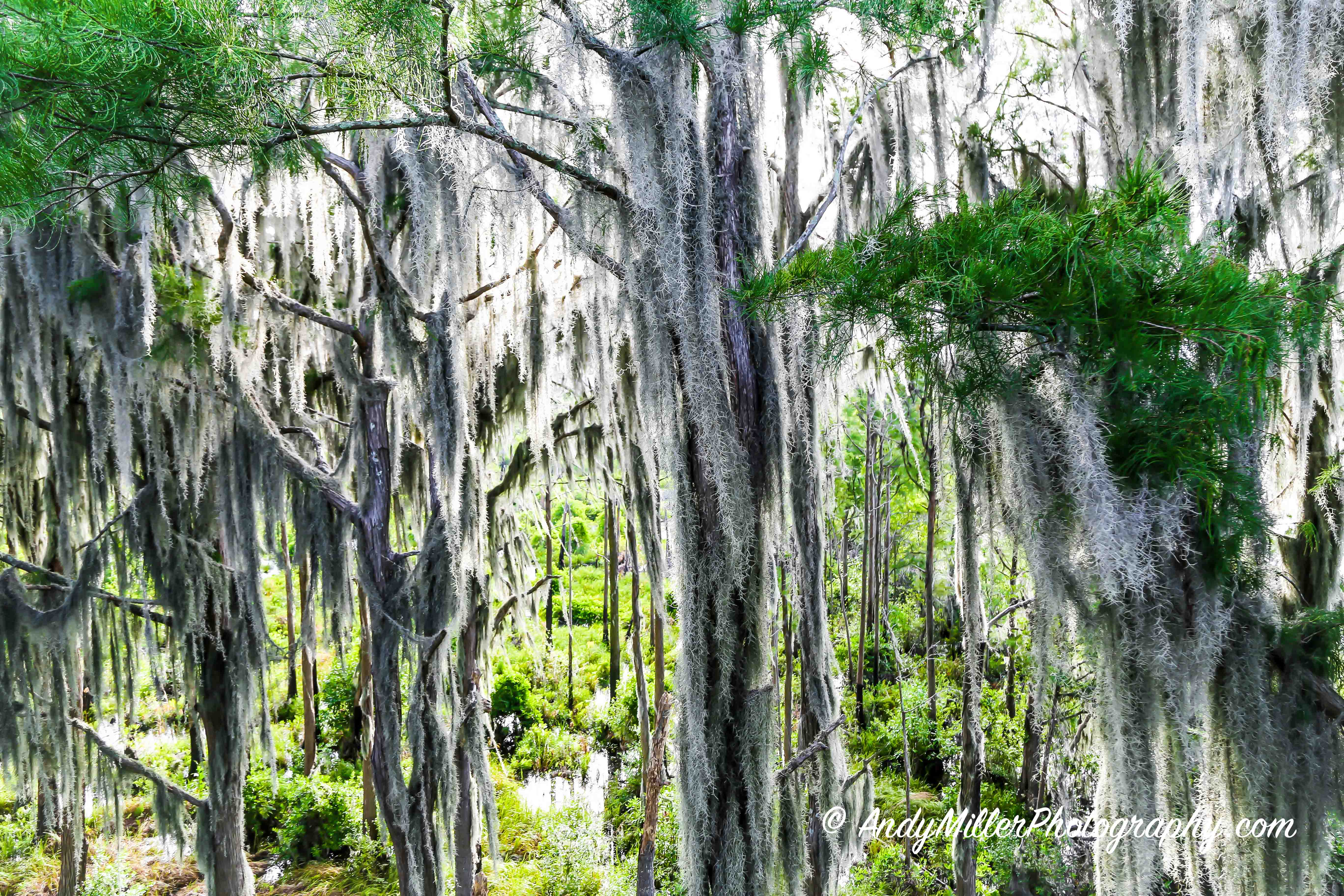 Spanish Moss Dripping from Live Oaks