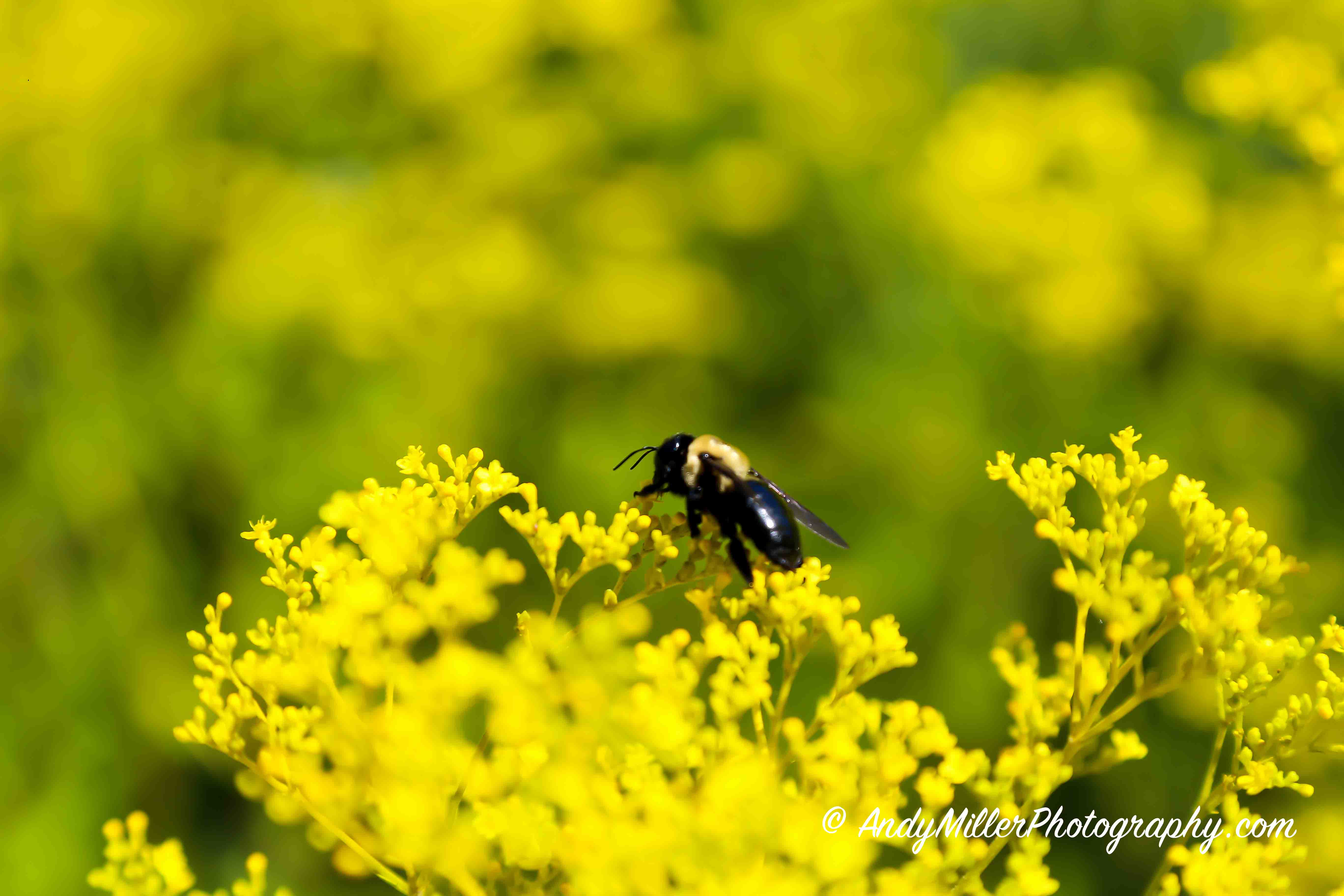 Bumblebee on sea of yellow flowers
