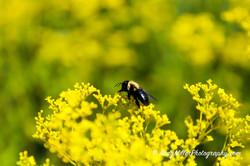 Bumblebee on sea of yellow flowers