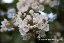 Mountain Laurel Blooms Closeup