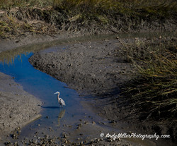 Blue Heron reflected at low tide