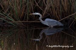 Great Blue Heron stalking prey