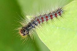 gypsy-moth.jpg