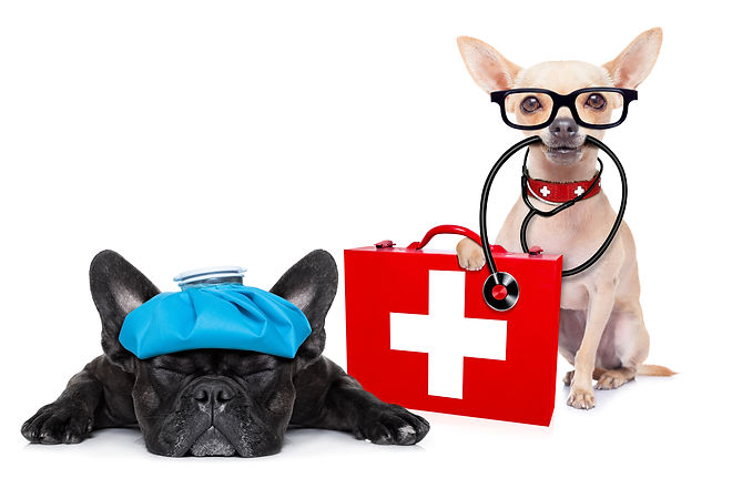 chihuahua dog as a medical veterinary do