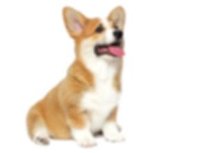 funny welsh corgi puppy sits and looks i