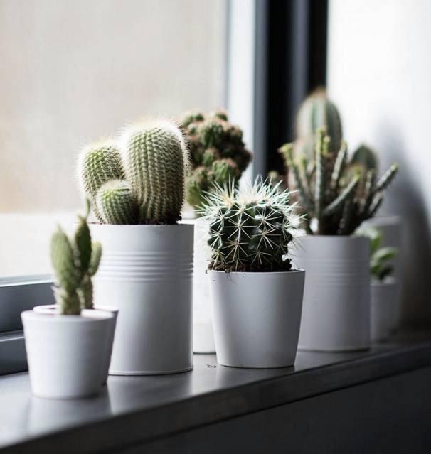 Cacti on windowsill
