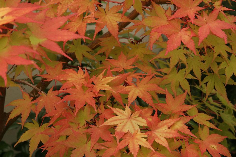 Orange Leaves.JPG
