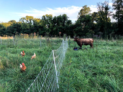 Chickens and Cows