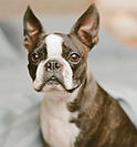 5-boston-terrier-facts0.jpg