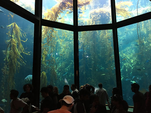 Kelp_Forest_exhibit_at_Monterey_Bay_Aqua