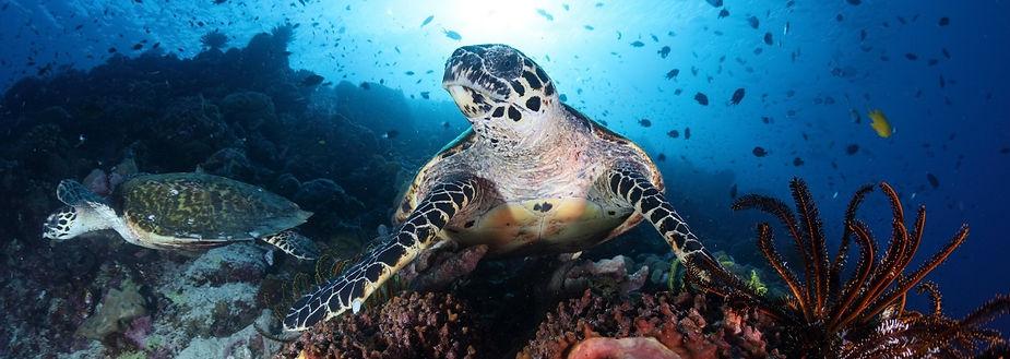 Revdyk med sköldpaddor Salomonöarna