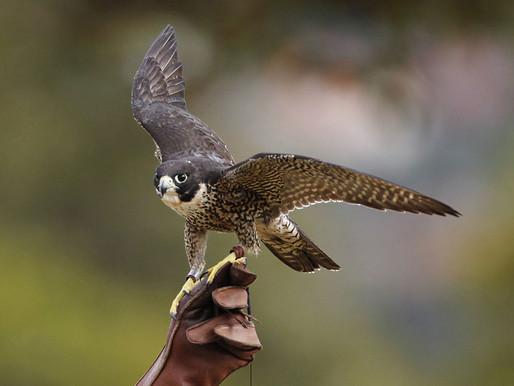 Un faucon pèlerin a été blessé par un tir à Ligné.