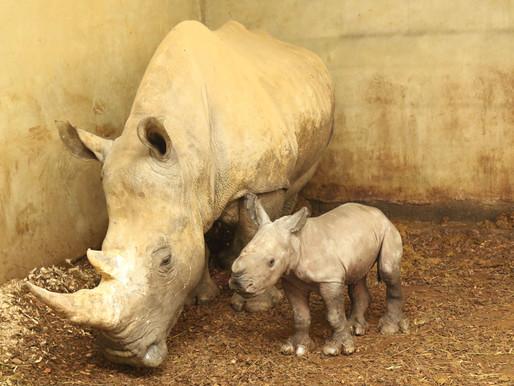 Naissance d'un bébé rhinocéros au zoo de la Boissière du doré.