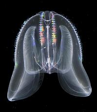 Mnemiopsis leidyi