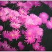 PinkBlossom+copy.jpg
