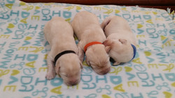 male pups
