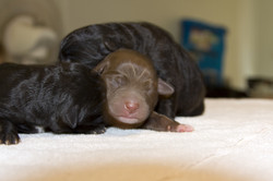 One Day Old Labrador Puppies.jpg