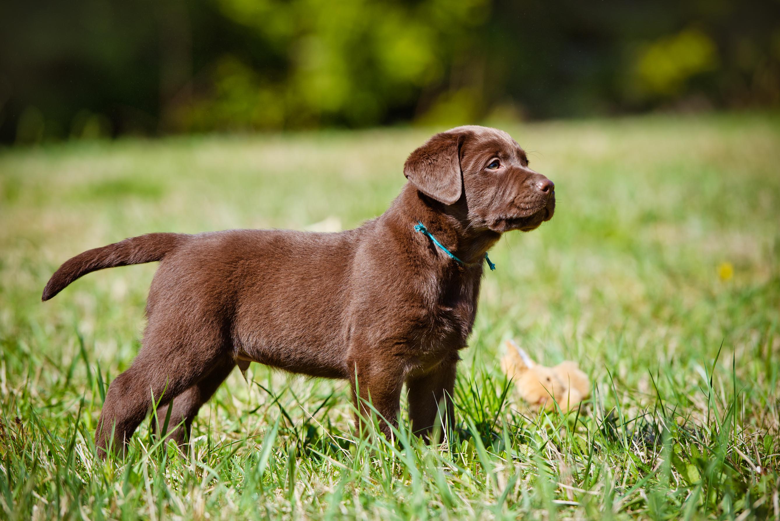 adorable brown labrador retriever puppy.jpg