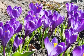 Первоцветы в саду: часть 3