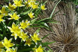 Первоцветы в саду: тюльпаны
