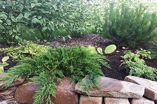 Карликовые растения в дизайне сада. Хвойные.