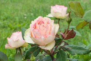 Сажать ли розы в саду?
