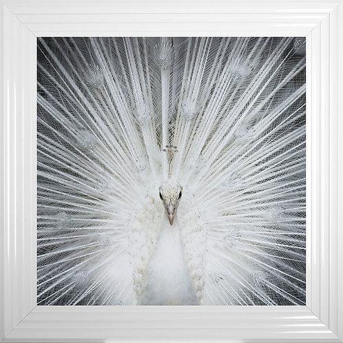 Albino Peacock Framed Liquid Artwork - 75x75cm