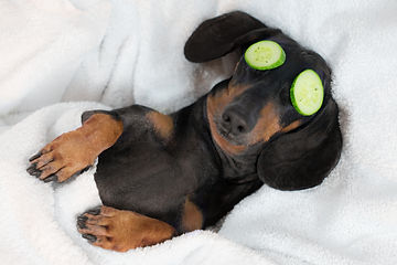 dog dachshund, black and tan, relaxed fr
