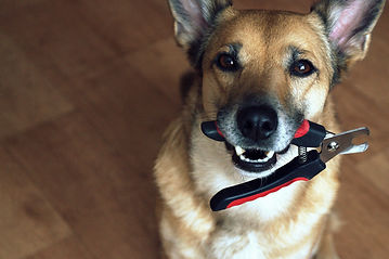 a satisfied dog holds a nail clipper, a