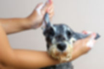 Schnauzer Dog grooming.jpg