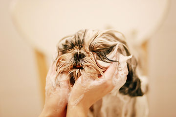 The owner is bathing the dog, using both