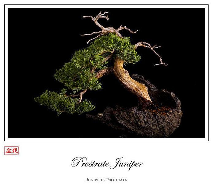 Web-Prostrate-Juniper_opt.jpg