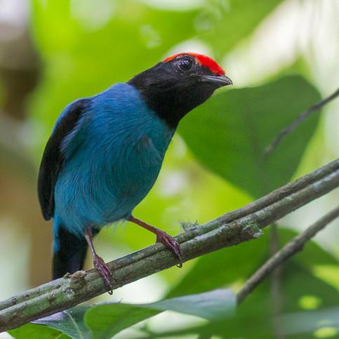 Blue Manakin