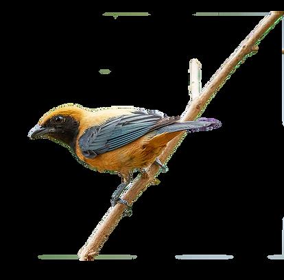 Ubatuba Bird Saíra-amarela