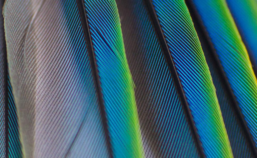 Parakeet Feathers