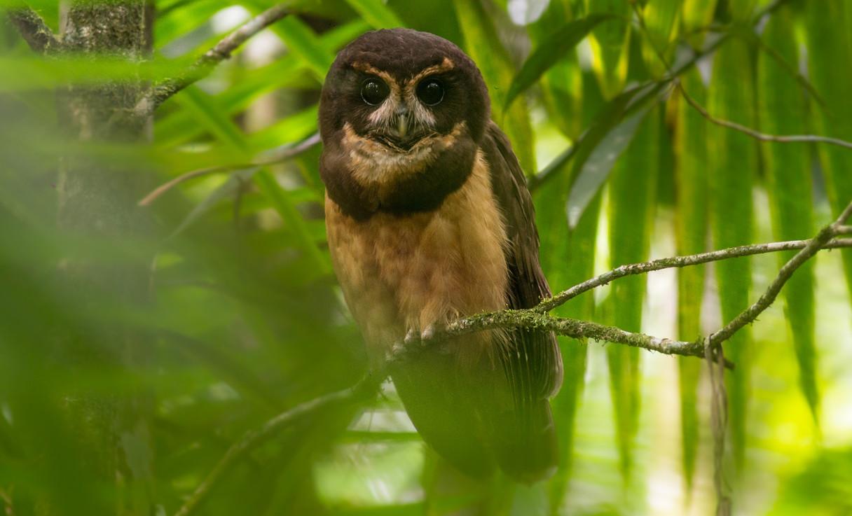 Tiny Browed Owl