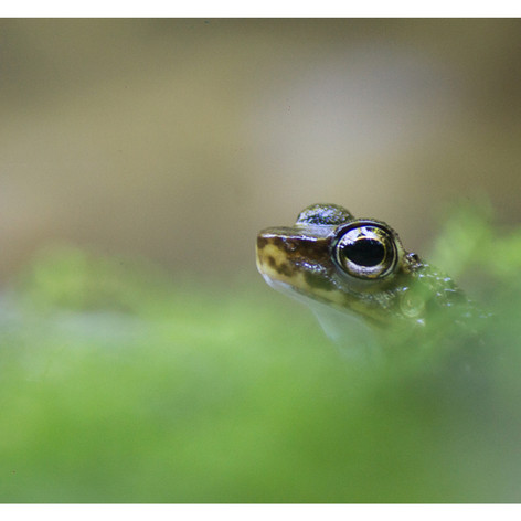 Hylodes asper torrent frog
